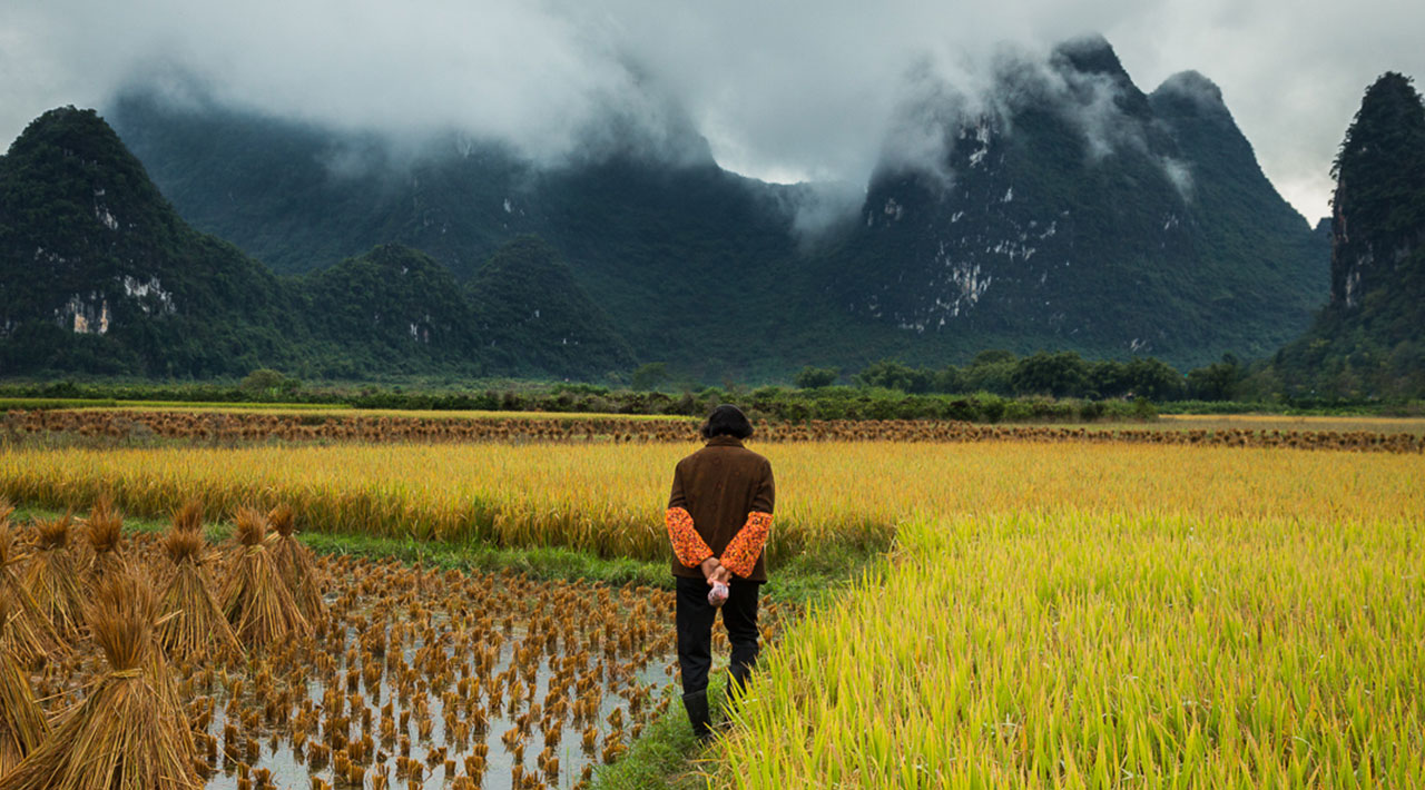 Man walks away into a bright yellow field in the countryside; mountains and mist in the background.